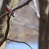 A blue bird in Plainsboro Preserve.