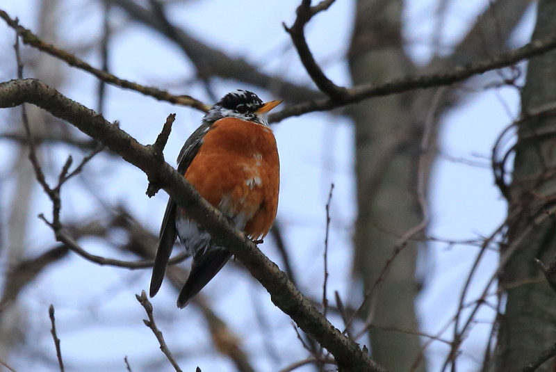 A robin in early spring