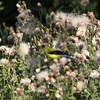A male goldfinch, hogging the thistle.