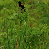 Red wing blackbird.