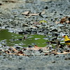 a male goldfinch at the old watering hole.