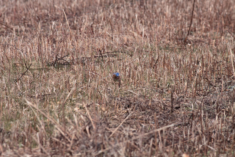 The hunter is hunted.  A bluebird catches a spider.