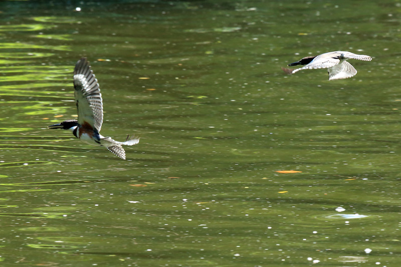 a pair of belted kingfishers