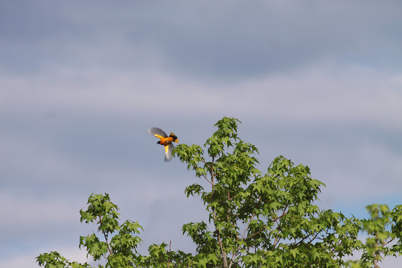 8 may 2011 in Plainsboro Preserve a northern oriole takes wing & catches the sun.