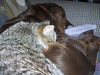 Boomer curled up on Skeeter for a quick nap the other day.