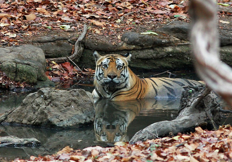 Tiger sitting in a water stream.