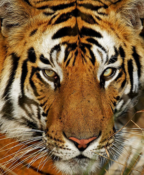 Portrait shot of a male Tiger names Kalua taken in Bandhavgarh NAtonal Park