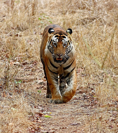 A Huge dominant Male Tiger walking straight towards the camera