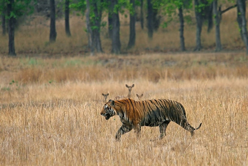 A dominant male tiger named Bokha walks through the meadows. A herd of spotted deer looks alertly at the predator. Picture taken in Bandhavgarh National Park