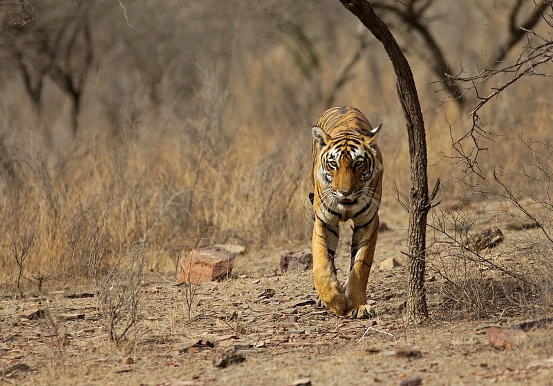 A female Tiger walking in a dry habitat in Ranthambhore National Park