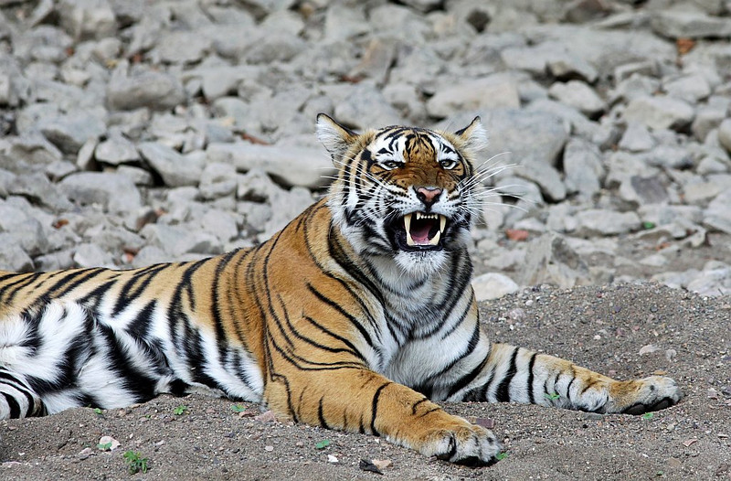Tiger showing canines