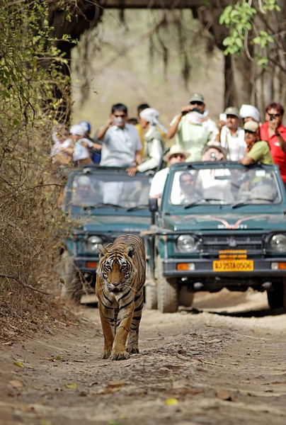 Tigress walking ahead of the tourist vehicles