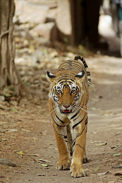 A female Tiger comes up close in Ranthambhore National Park