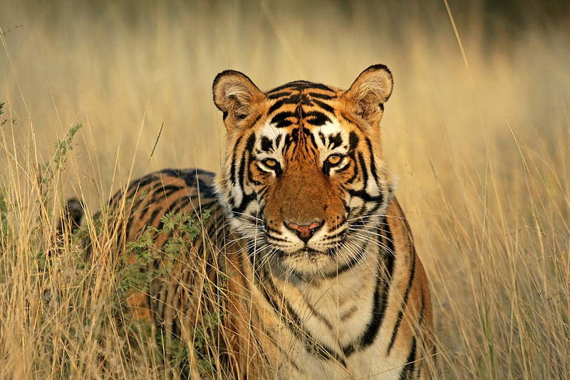 A male Tiger standing in golden light in Ranthambhore National Park
