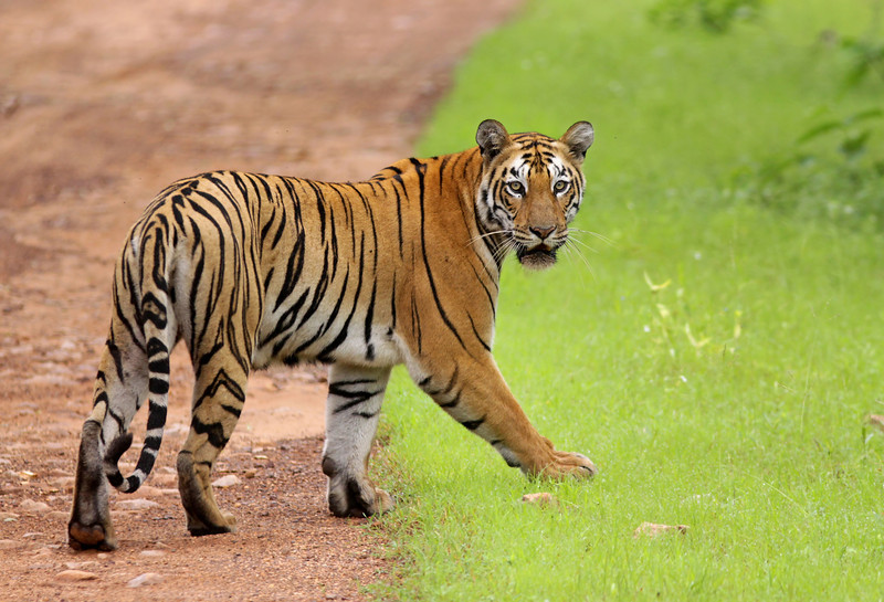 A female Tiger looks back while crossing the roadin Tadoba-Andhari Tiger Reserve, Maharashtra.