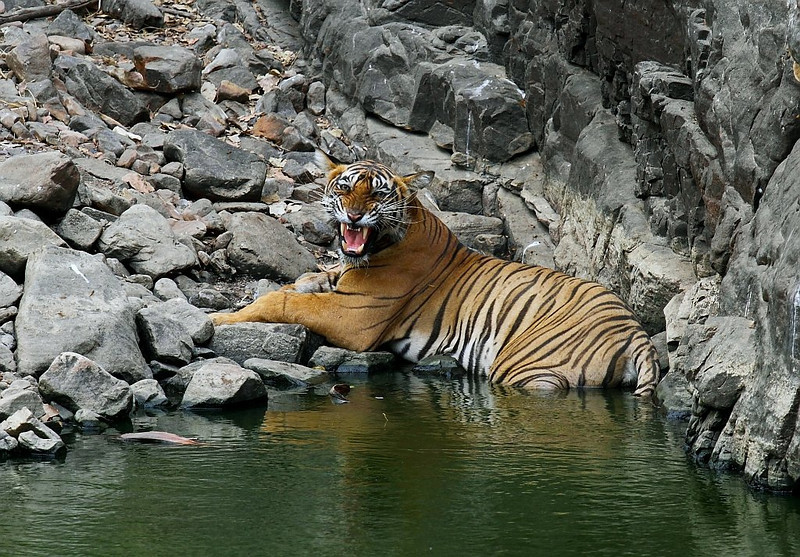 A female Tiger snarls at a water hole in Ranthambhore National Park