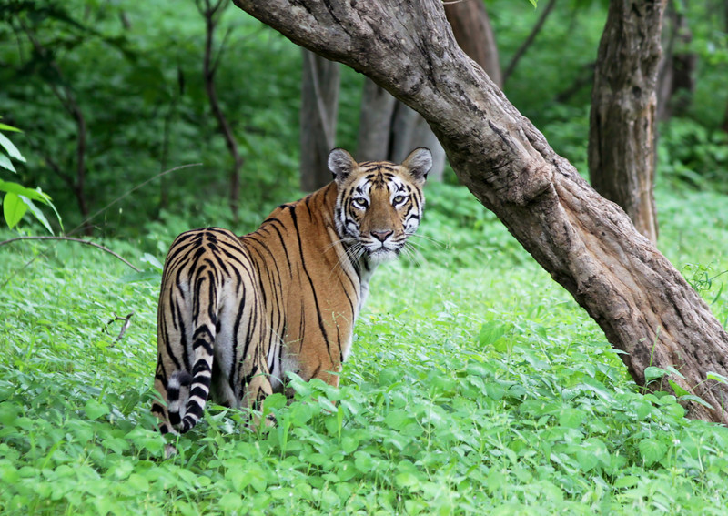 A female Tiger standing in green grass in the jungles of Tadoba-Andhari Tiger Reserve.