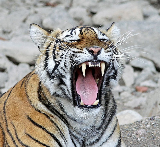A female Tiger yawning in Ranthambhore National Park