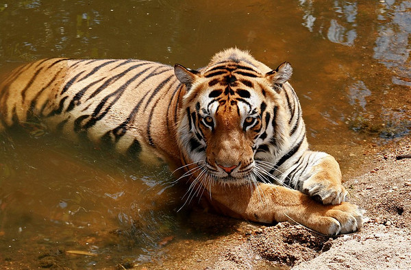A male Tiger resting in water hole in Kanha National Park