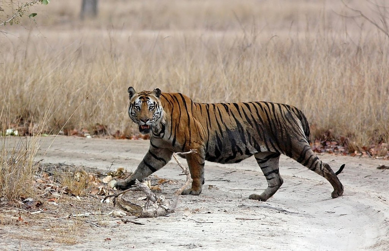 A dominat male Tiger named Bokha crosses the dirt road in Bandhavgarh National Park