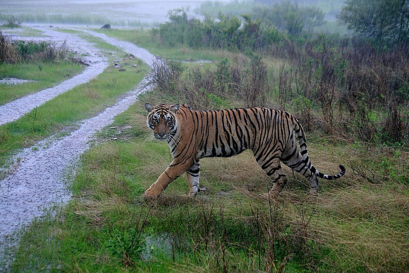A female Tiger spotted in rain in Ranthambhore National Park