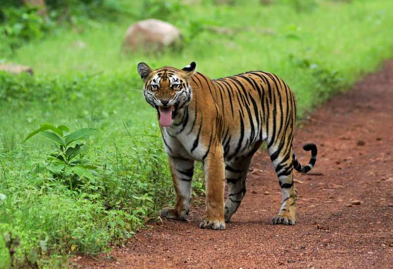 Flehmen response of a Tiger