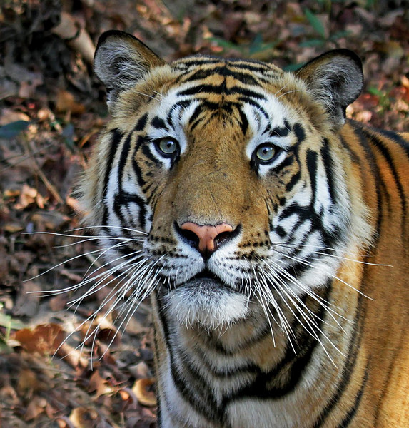 beautiful tiger cat wild face closeup portrait look innocent savage hunter dangerous bengal king india expression habitat stripes killer alert beast carnivore endangered powerful mammal majestic glare predator wildcat feline bandhavgarh wildlife beauty