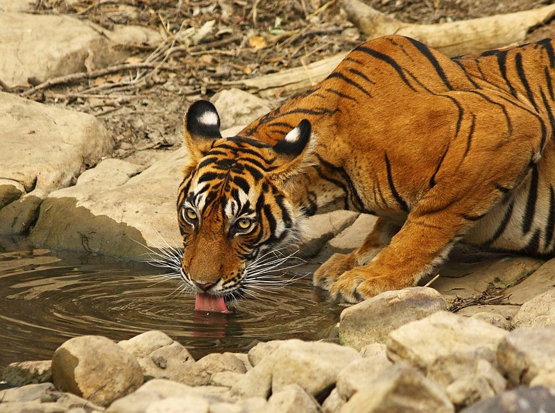 Tiger cautious while drinking water.
