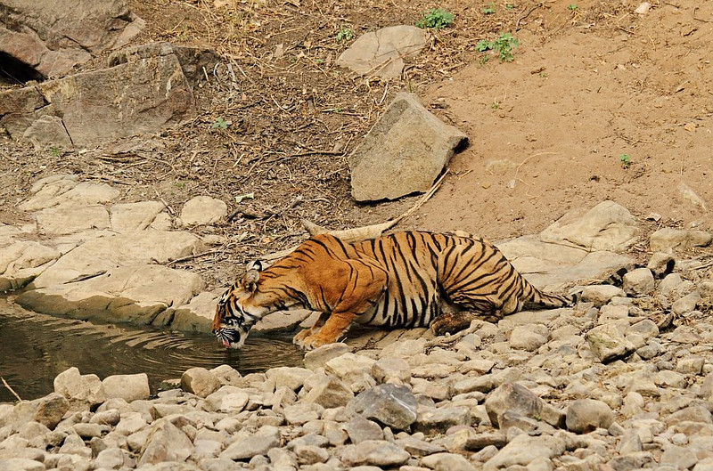 Tigress drinking water