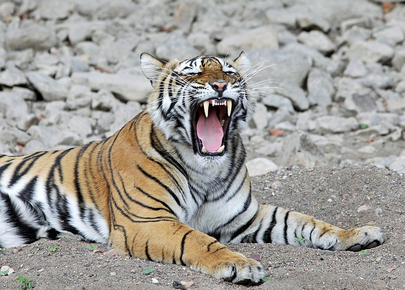 Tiger yawning wide