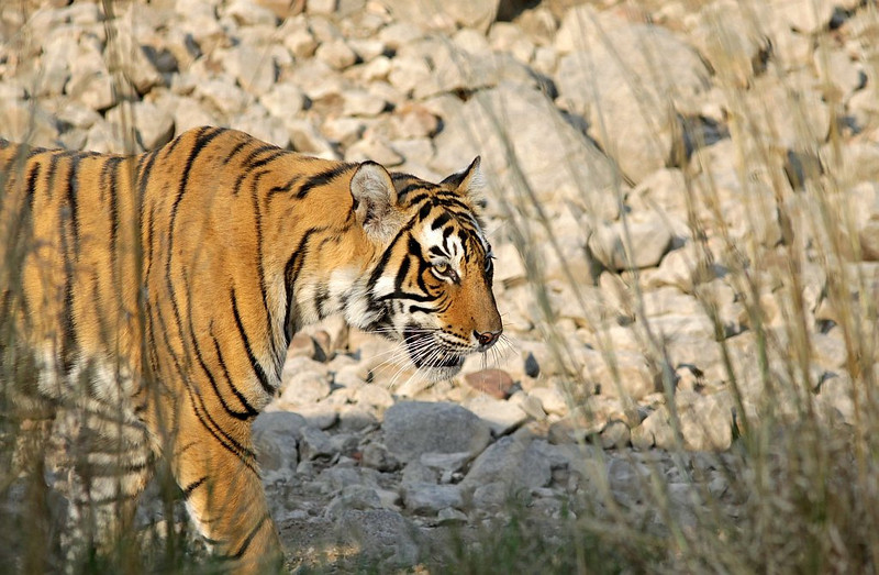 A male Tiger coming out in golden light in Ranthambhore National Park