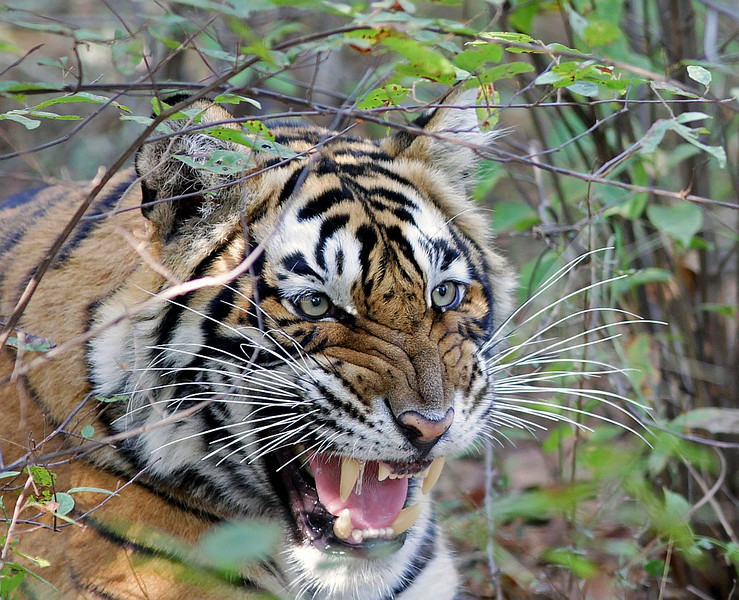 Male Tiger snarling in the jungles of Ranthambhore National Park