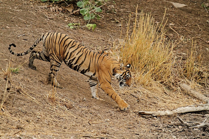 Tigress coming down to the water hole.