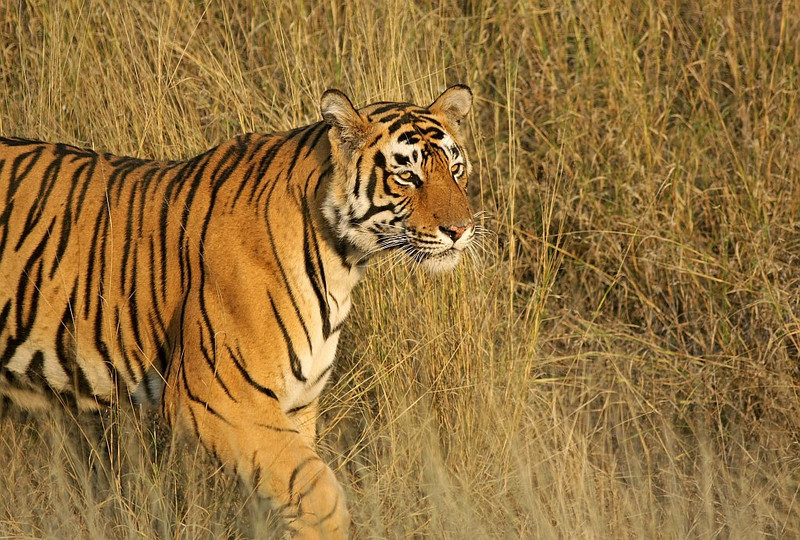 A male Tiger walks in golden grass in Ranthambhore National Park