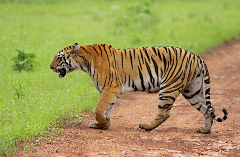 Tiger crosses the road