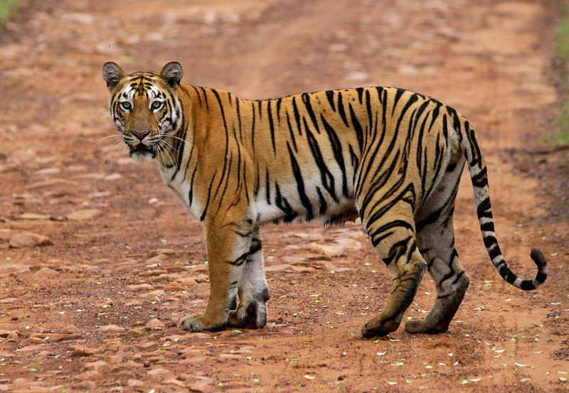 A female Tiger standing on the dirt road in Tadoba-Andhari Tiger Reserve