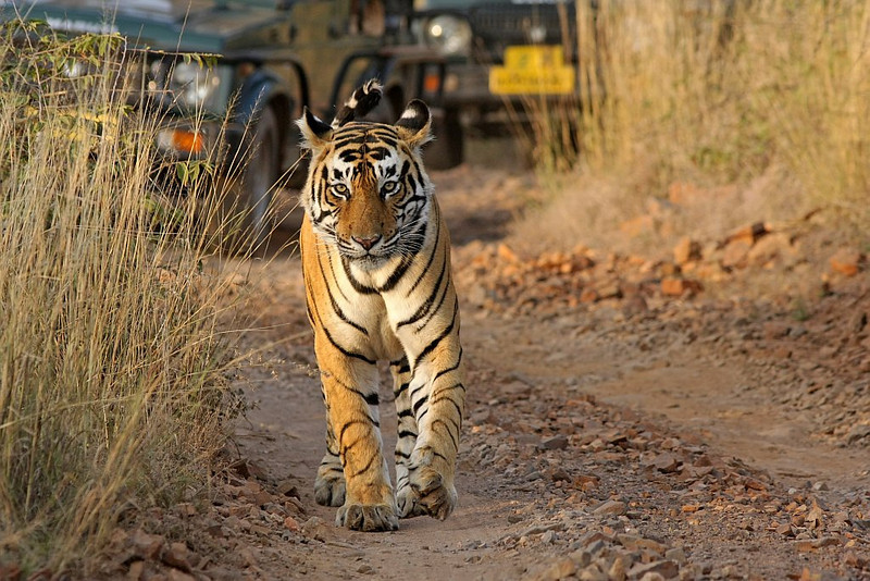 Tiger on the safari road
