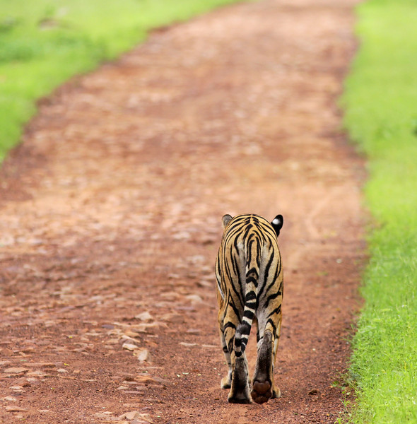 Tiger walks on the road