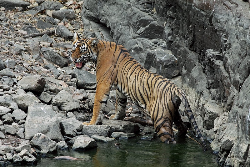 Angry Tiger gets up from water.