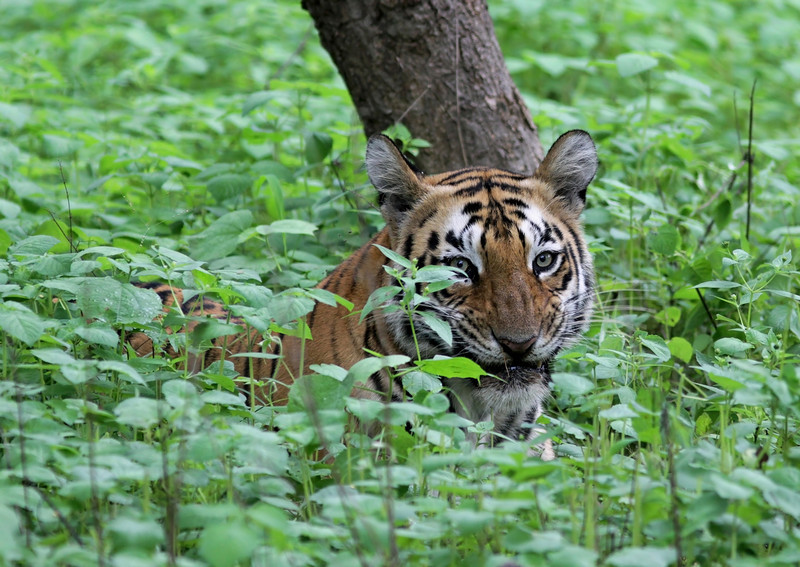 Tiger hiding in grass