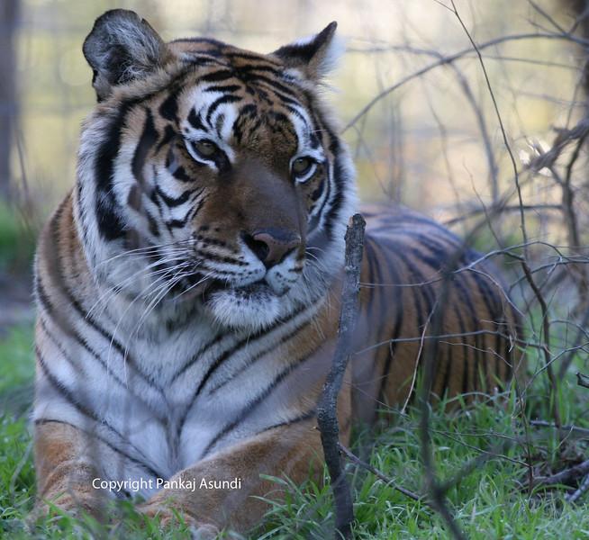 Tiger Shoot - McKinney, TX