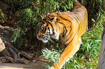 tiger and o-line