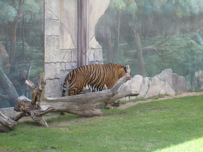Tigers at the reception area at Dubailand