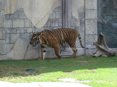 There are two tigers here's one pacing in their enclosure.
