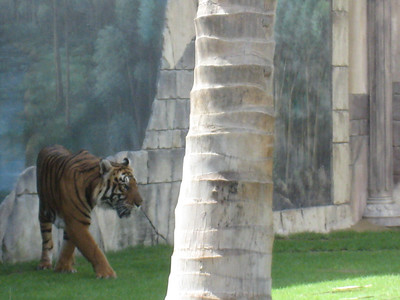 Tigers are a mass of muscle and it was so sad to see them pacing back and forth bored out of the skulls.