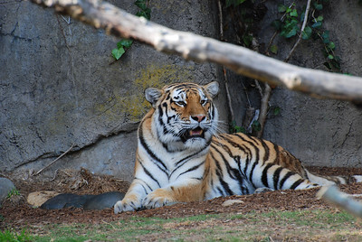 Tigers Boo at the Zoo