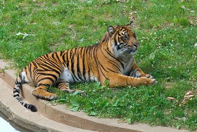 Tigers - Cockadoodlezoo