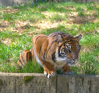 Tigers and Apes