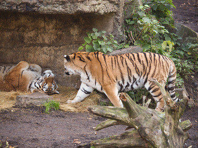 Tigers in Copenhagen Zoo. Photo: Martin Bager.