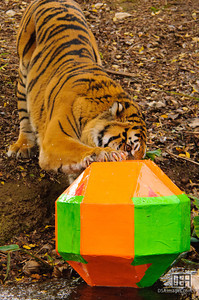 Sumatran Tiger enjoying an enrichment toy